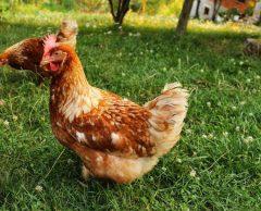 En 2025, vous ne mangerez plus d'œufs de poules élevées en cage
