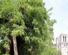 Planté sous Henri IV, le plus vieil arbre de Paris a vécu l'incendie de Notre-Dame