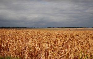 Pour faire pousser du maïs, l'INRA transforme nos poubelles en engrais