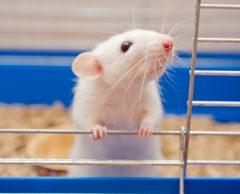 Tests sur animaux : bientôt une alternative plus fiable et éthique