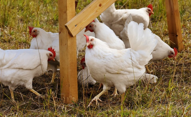 Pour lancer votre élevage de poules à la maison, suivez ce guide