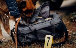 """Comment les chiens """"renifleurs"""" résolvent des enquêtes criminelles"""