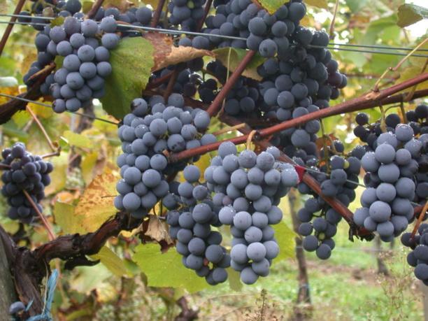 Adapter les vignobles au changement climatique, le défi du Beaujolais
