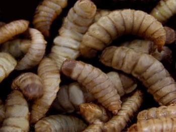 Pour nourrir les animaux d'élevage, une start-up française parie sur les insectes