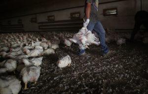 Souffrance animale : ce qui se cache derrière ce que nous mangeons