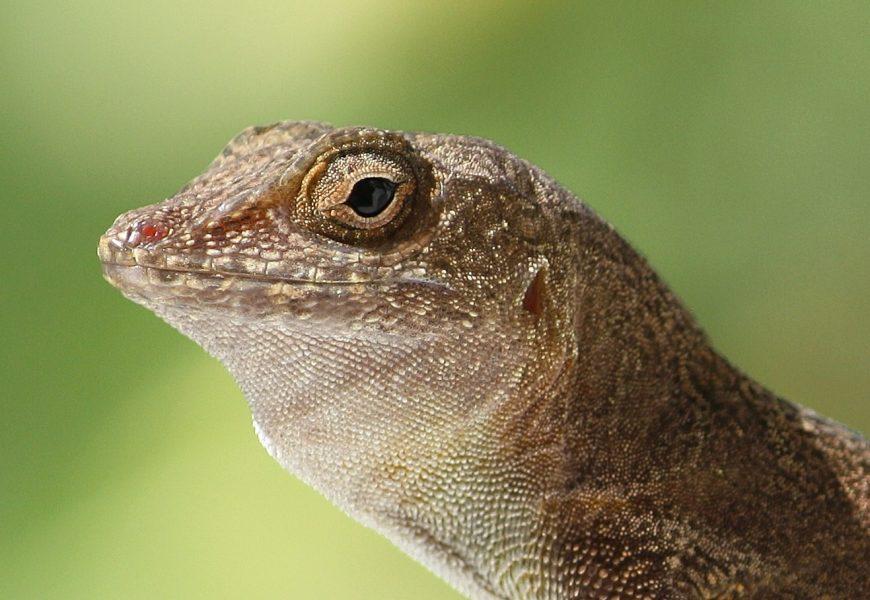 L'espèce de lézard Anolis cristatellus s'est scindée en deux modèles génétiques différents.