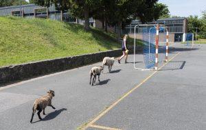 Dans ce lycée, on s'occupe des moutons pendant la récré