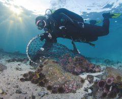 Sauvez l'océan, mangez des oursins