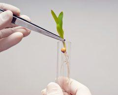 Nouveaux OGM : la France reste soumise à l'agrosemence