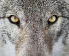 L'homme et le loup : comment améliorer leur coexistence en France ?