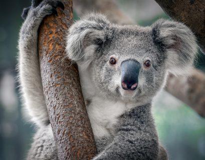 Objectif de la COP15 : freiner l'extinction des espèces, comme le koala.